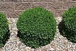 Самшит вечнозеленый BUXUS SEMPERVIRENS (голый корень), фото 6