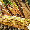 Семена кукурузы ДМС 3015 (МАИС) ФАО 300