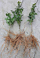 Самшит вечнозеленый BUXUS SEMPERVIRENS (голый корень)