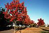 Дуб червоний. (саджанець 140-170 см)