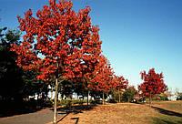 Дуб красный. (саженец 140-170 см)