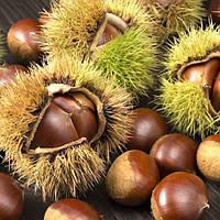 Саджанці каштану їстівного (Castanea sativa) 20-30 см