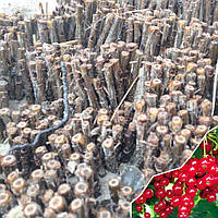 Черенки красной смородины сорт Детван, фото 1