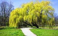 Саженцы плакучих деревьев