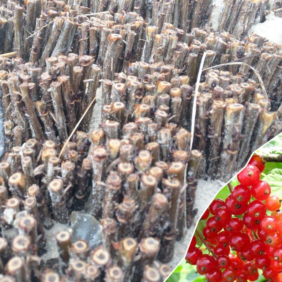 Черенки красной смородины сорт Ролан