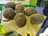 Насіння врожайного соняшника Кардінал 32 ц/га. Гібрид засухостійкий та витримує шість рас вовчка A-F.. Екстра, фото 5