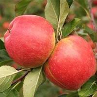 Саженцы яблони Чемпион (среднерослые ММ 106)