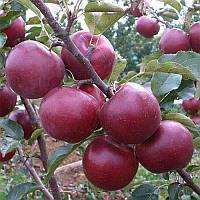 Саженцы яблони Флорина (среднерослые ММ 106)