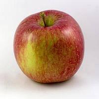 Саженцы яблони Фуджи (карликовые, М9)