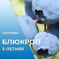 Саженцы голубики Блюкроп (Bluecrop), 3-летние в горшке 5л, h-70-100см. куст.,2-4 побега