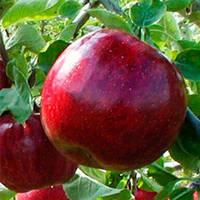 Саженцы яблони Ред Джонапринц (карликовые, М9)