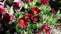 Корневище сон-травы красной, 1 шт