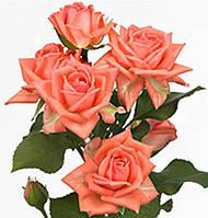 Роза Barbados