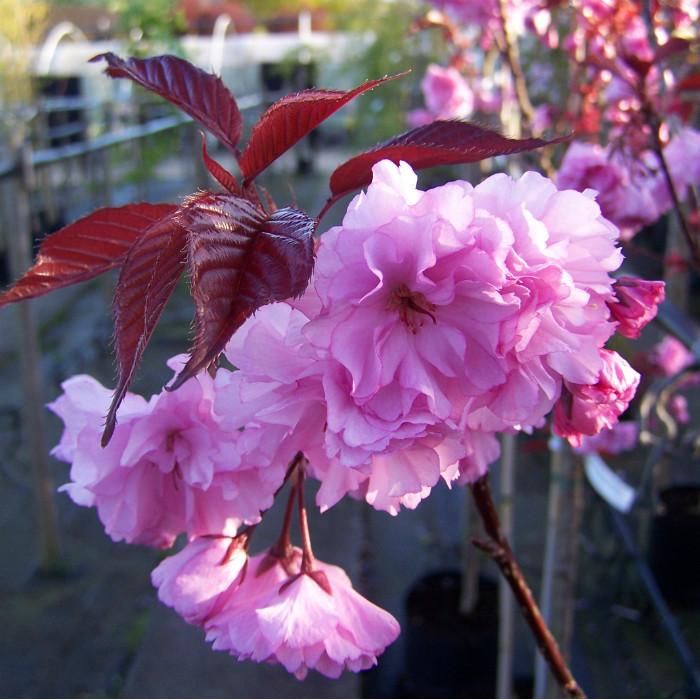 Саджанці сакури рожевої махрової червонолистної Роял Бургунді (привита)