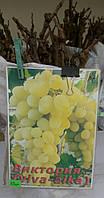 Саженец винограда Виктория
