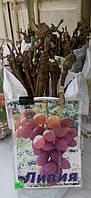 Саженец винограда  сорт Ливия