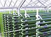 Суспензия Хлореллы для рыбных хозяйств