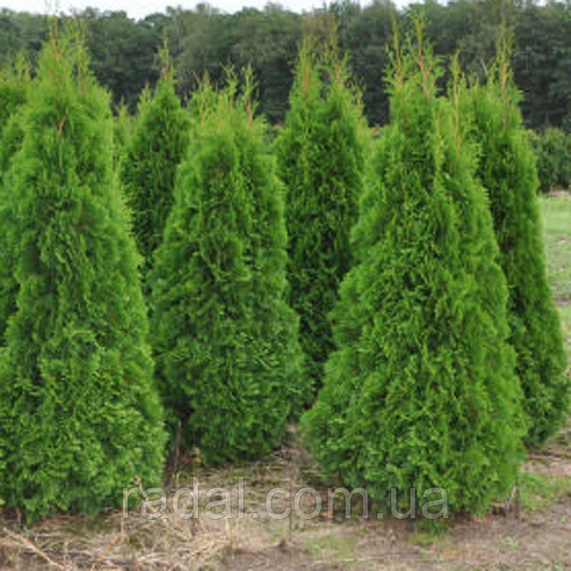 Туя западная Смарагд 75-80см в горшках  (Thuja occidentalis Smaragd )