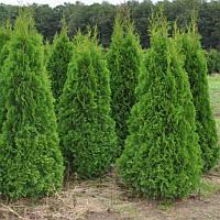 Туя западная Смарагд 75-80см в горшках  (Thuja occidentalis Smaragd ), фото 1