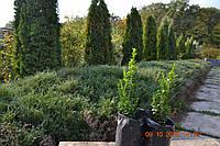 Самшит вечнозеленый саженец 0,5м