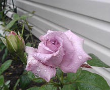 Роза Индиголетта, (Indigolettа) Плетистая, фото 3