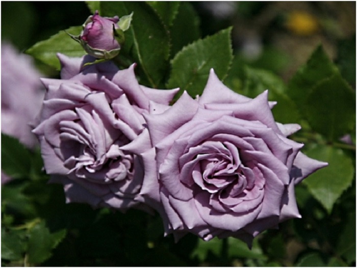 Роза Индиголетта, (Indigolettа) Плетистая