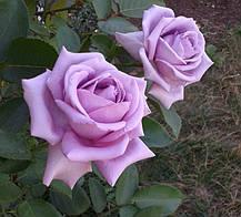 Роза Индиголетта, (Indigolettа) Плетистая, фото 2