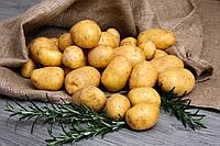 Нужно ли протравливать картофель?