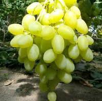Саджанці винограду КОНВАЛІЯ середнього терміну дозрівання