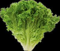 Купить семена салата ,щавеля от производителя,лучшие сорта, для открытого грунта.