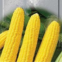 Семена Сахарной кукурузы,от производителя , купить, цена.