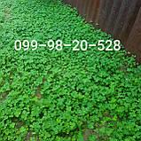 Белый клевер 1кг упаковка Пиполина Ривендел Юра Рома trifolium и др.сорта семена лилипут оптом для газона цена, фото 2