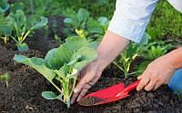 Выращивание капусты в пленочной теплице