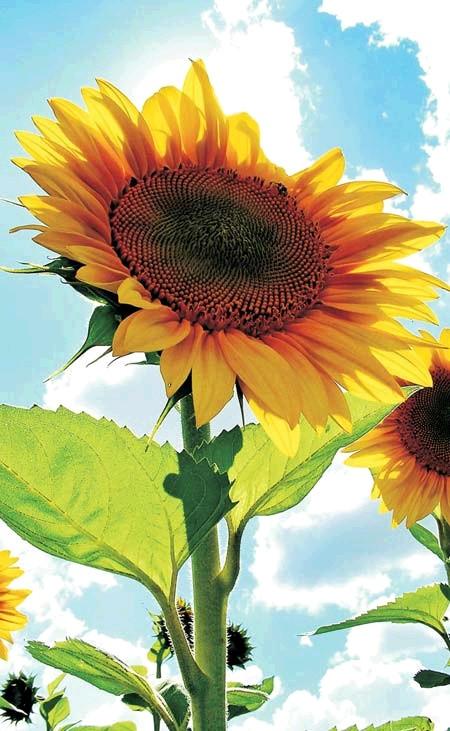 Газ. колонка MATRIX Sunflower (Соняшник)