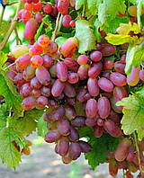 "Виноград ""Преображение"" , фото 1"