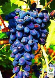 """Виноград розово-синий """"Аврора"""""""