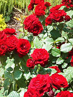 Роза Андалусия Бордюрная