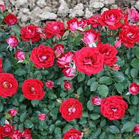 """Роза патио """"Мэйди"""", фото 1"""