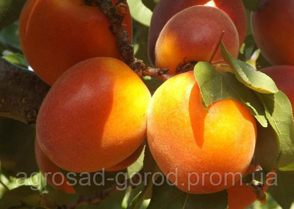 Саженцы абрикоса Оранж Ред, фото 2