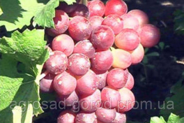Саженцы винограда Кардинал, фото 2