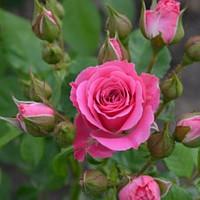 """Роза мелкоцветковая (спрей) """"Лавлей Лидия"""""""