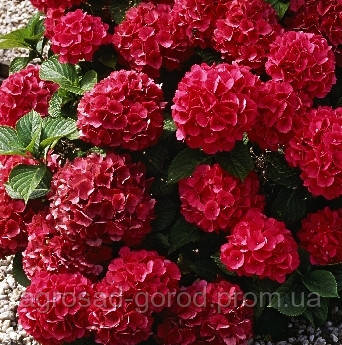 Гортензия Hot Red, фото 2