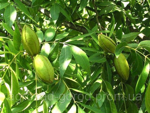 Саженцы ореха Пекан Киова