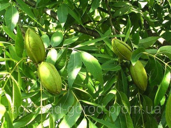 Саженцы ореха Пекан Киова, фото 2