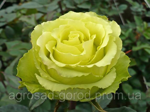 Саженцы роз Лимбо, фото 2