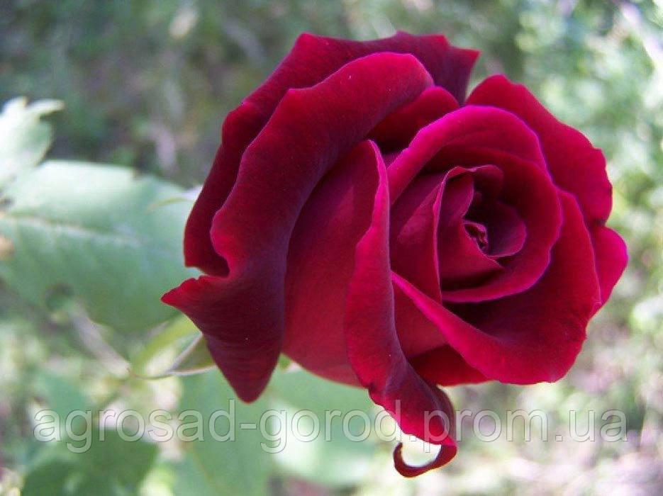Саженцы роз Норита