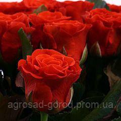 Саженцы роз Эль Торо, фото 2