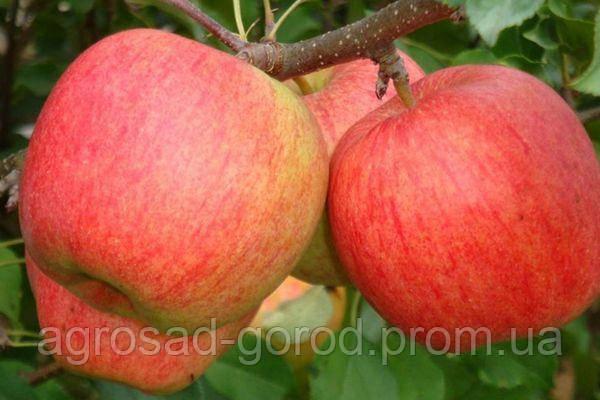 Саженцы яблони Лигольд, фото 2