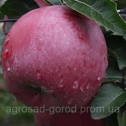 Саженцы яблони Энтерпрайз, фото 2