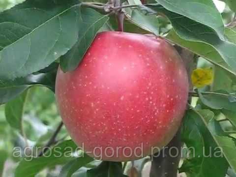 Саженцы яблони Граф Эззо, фото 2